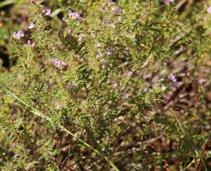 Satureja subspicata
